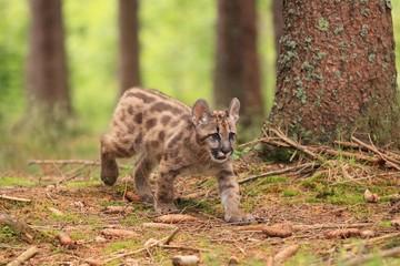 Puma concolor, kitten