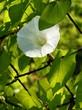 white flower of Hedge bindweed