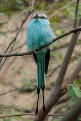 Racket Tailed Roller Bird