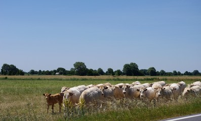Les vaches blanches