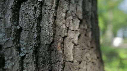 bark of oak tree