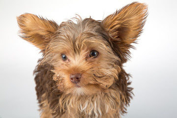 Yorkshire Terrier puppy standing in studio looking inquisitive w