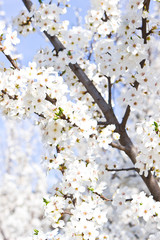 Branches blossoming with white flowers