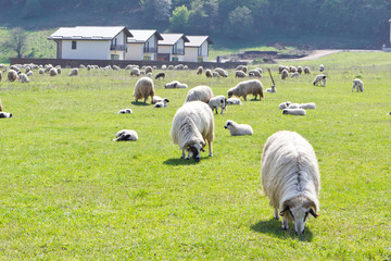 Sheeps on green grass