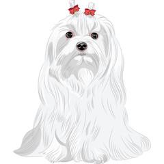 vector serious white dog Maltese breed sitting