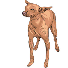 vector Mexican Hairless Dog Xoloitzcuintle breed