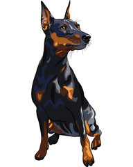 vector dog serious Miniature Pinscher breed sitting