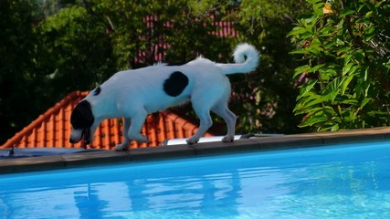 Funny Dog Walking along the Swimming Pool. Summer Day. Poolside.