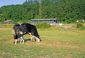 Friesian cow with day old calf in field, pasture.