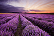 Sunrise in Lavender Field