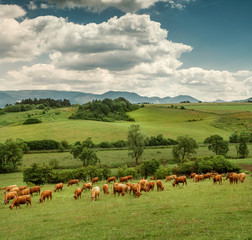 Herd of red Cows on the mountain meadow