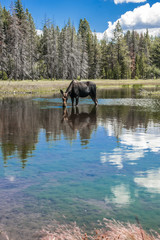 Moose Standing in Reflecting Lake