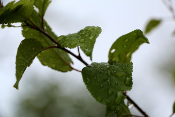 Macro tree branch with raindrops, dew on leaves close-up photogr