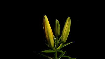 Yellow Asiatic Lily Blooming Timelapse