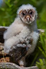 Baby Barm owl