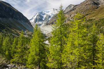 larch trees growing in Val d'Anniviers, Switzerland