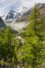 european larch trees growing in Swiss Alps