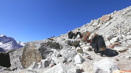 Yak caravan in Everest region, Nepal