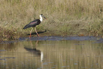 Woolly-necked stork bird in Nepal