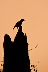 Singing mynah bird silhouette in sunset
