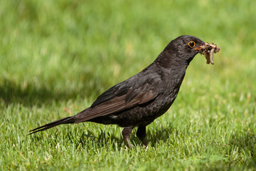 "blackbird in the grass with Worms in his mouth ""Turdus merula"""
