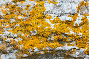 Yellow lichens