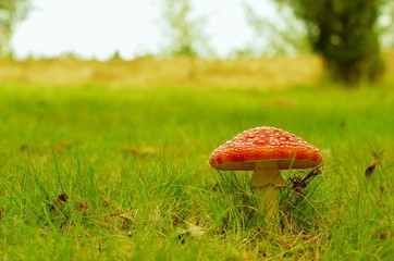 Fly agaric toadstool in a field