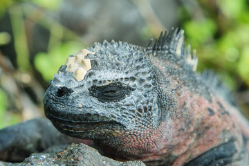Galapagos Marine Iguana resting on rocks