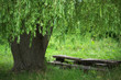 Tree and wooden bench