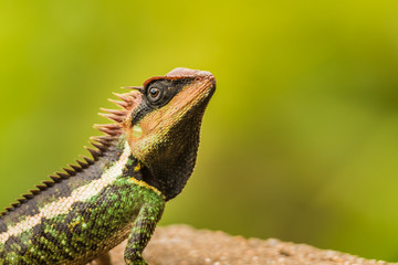Forest Crested Lizard (Calotes emma)
