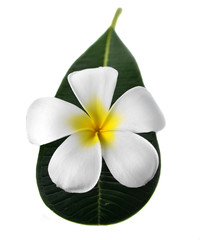 frangipani, plumeria isolate on white