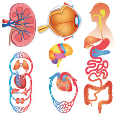 Human Body Parts Vector Set