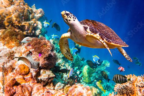Foto op Aluminium Schildpad Hawksbill Turtle - Eretmochelys imbricata