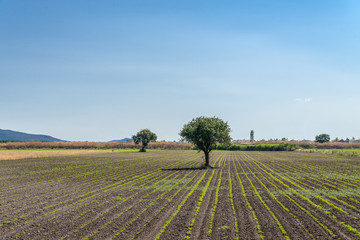 tree in a  field - typical turkish landscape