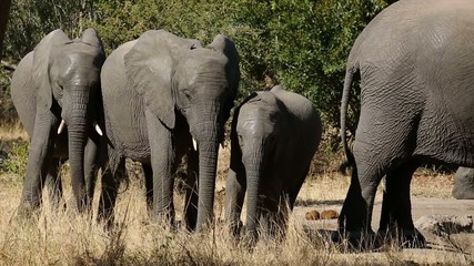 Interaction between young African elephants