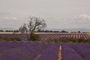 Arbre mort et champs de lavandes