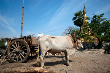 Ox cart at riverside  in Kyaikto city,Myanmar.