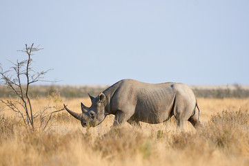 Black rhino in the Etosha National Park