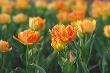 orange tulips on a flowerbed close-up