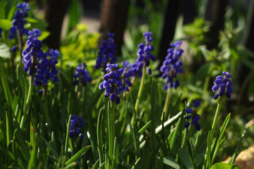 bed of grape hyacinth or blue muscari flowers close-up