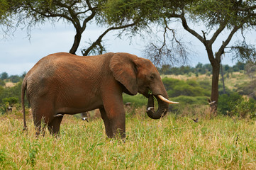 Elephant in the savanna of Tarangire National Park, Tanzania.
