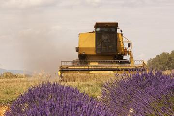 Moissoneuse-batteuse entre champs de blé et de lavandes