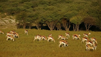 Springbok antelopes grazing in late afternoon light