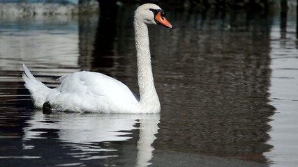 Swan Opens his Mouth and Swims away