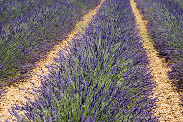 Lavender flowers in the field closeup