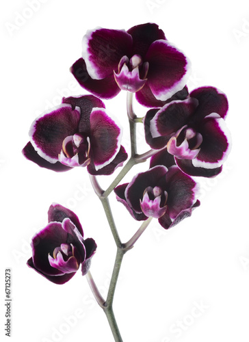 Fotobehang Orchidee Blooming branch beautiful dark cherry with white rim orchid, ph
