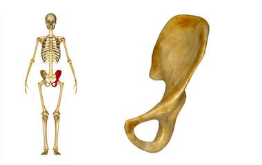 Pelvic hip girdle