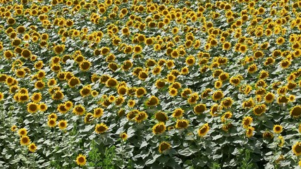 Agriculture, sunflower plant in field, panning HD video