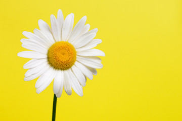 Daisy flower on yellow background