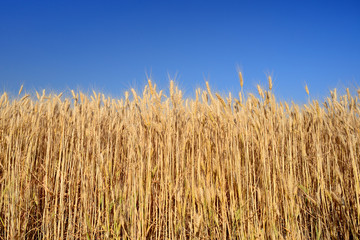 Wheat ears on blue sky background